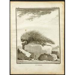 1764 - Coendou ou Porc-épic...