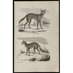 1867 - Chacal du Sénégal et...