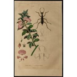 1839 - Podalyre & Carabus...