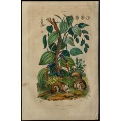 1839 - Poivrier et...