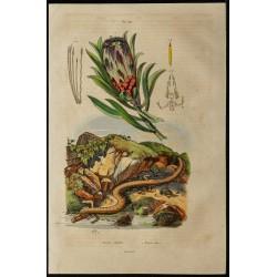 1839 - Protée (Salamandre)...