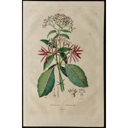 1839 - Quinquina en fleurs