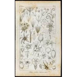 1848 -  Calices Corolles et...